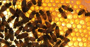 Bees with honey and wax with sound. Bees work on honeycomb with honey and wax and insects with sounds stock video