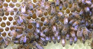Bees with honey and wax. Bees work on honeycomb with honey and wax and insects with sounds stock video