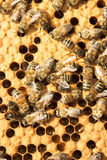 Bees on honeycells Stock Images