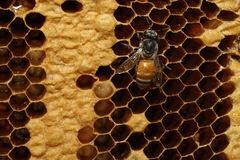 Bees on honeycells Stock Photography