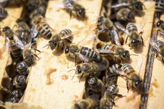 Bees on honeycells Royalty Free Stock Photo