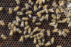 Bees on honeycells Stock Image