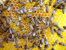 Bees on honeycomb. A closeup view of worker bees feverishly working to fill waxed honeycomb with honey Stock Photos