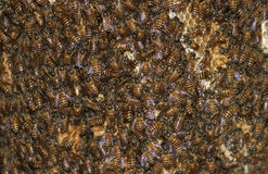 Bees and honeycomb. Wild bees on honeycomb working Stock Image