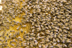 Bees in honeycomb. Many bees in a honeycomb Stock Image