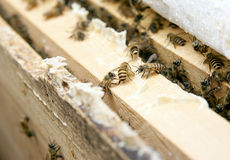 Bees in honeycomb. Many bees in a honeycomb  in farm Stock Images