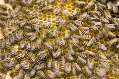 Bees in honeycomb 2 Royalty Free Stock Photography