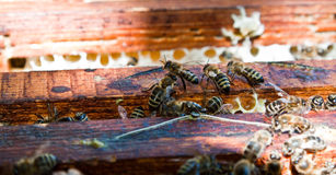 Bees on honeycomb. A closeup view of worker bees feverishly working to fill waxed honeycomb with honey Stock Image