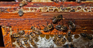 Bees on honeycomb. A closeup view of worker bees feverishly working to fill waxed honeycomb with honey Stock Images
