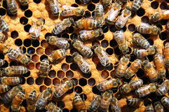 Bees on honeycomb Royalty Free Stock Photos