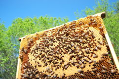 Bees on honeycomb Stock Photo