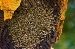 Bees in a honeycomb Stock Photo