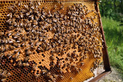Bees on honeycomb. The Frame with honey. Much bees. Honeycomb Royalty Free Stock Images
