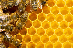 Bees on honeycomb Stock Image
