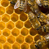 Bees on honeycomb royalty free stock images