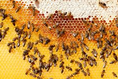 Bees on honeycomb. Bee honeycombs with honey and bees. Apiculture stock images