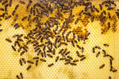 Bees on honeycomb in a beehive Stock Photography