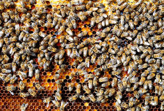Bees on honeycomb cell pack into bee bread. Apitherapy. Royalty Free Stock Photos