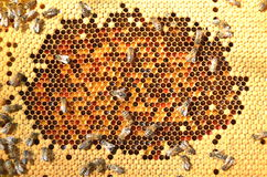 Bees on honeycomb. Close-up of bees on honeycomb eating honey Royalty Free Stock Photos