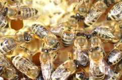 Bees on honeycomb Royalty Free Stock Photography