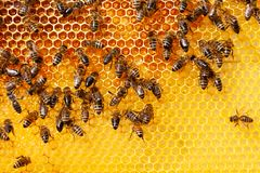 Bees on honeycomb. Bee honeycombs with honey and bees. Apiculture royalty free stock photos