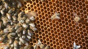 Bees in honeycomb stock video