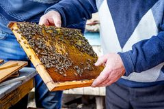 Bees on honeycomb frame that beekeeperholds in his hands. Work o. N an apiary Royalty Free Stock Image