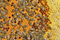 Bees on honeycomb frame Royalty Free Stock Image