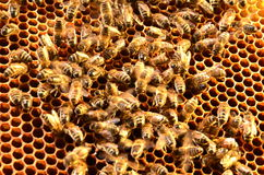 Bees on honeycomb frame Royalty Free Stock Photography
