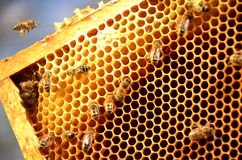 Bees on honeycomb frame Stock Photo