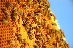 Bees on honeycomb frame in the springtime Stock Photo