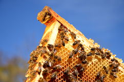 Bees on honeycomb frame in the springtime Royalty Free Stock Images