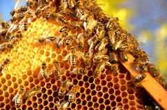 Bees on honeycomb frame in the springtime. Bees on honeycomb frame against blue sky in the springtime royalty free stock image