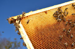 Bees on honeycomb frame in the springtime. Bees on honeycomb frame against blue sky in the springtime royalty free stock photos
