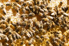 Bees on honeycomb with honey. Beekeeping. Background image. Copy paste stock images