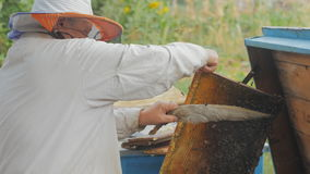 Bees on honeycomb. Honey harvest. Beekeeper lady gently removes bees from the frame. stock video footage