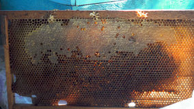 Bees honeycomb with honey and perga Royalty Free Stock Photography