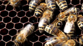 Bees on honeycomb with honey stock video