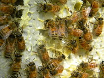 Bees on Honeycomb stock photography