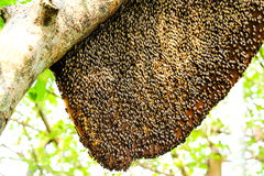 Bees and a honeycomb on the tree. Stock Image