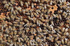Bees on the honeycomb. Bees work on the honeycomb Royalty Free Stock Image