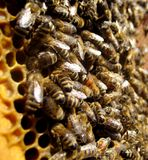 Bees and honeycomb. Bees work on his honeycomb Royalty Free Stock Photo
