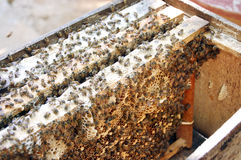 Bees and honeycombs Royalty Free Stock Image