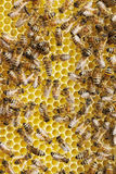 Bees on honeycombs. Royalty Free Stock Photo