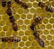 Bees on honeycombs.Bees build honeycombs. Work in a team royalty free stock image