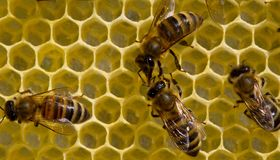 Bees build honeycombs. Work in a team royalty free stock photography
