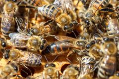 Bees on honeycombs close-up concept of beekeeping royalty free stock images