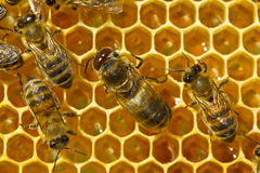 Bees on honeycombs Royalty Free Stock Photos