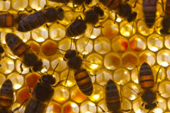 Bees on honeycombs. Stock Image