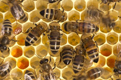 Bees on honeycombs Royalty Free Stock Photo